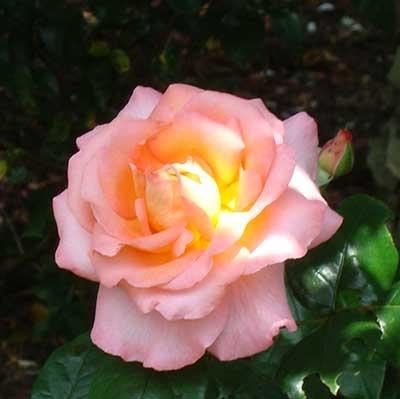 Bath Rose